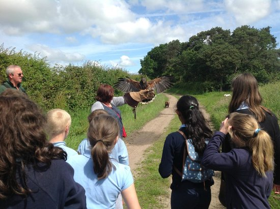 Battlefield Falconry Centre: Harris Hawk ready for action