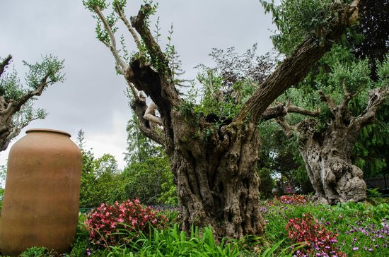 Monte Palace Tropical Garden: Ancient olive trees