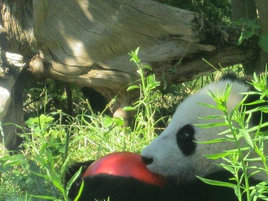 Tiergarten Schoenbrunn - Zoo Vienna : Panda fofo!