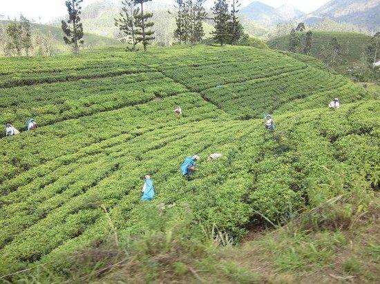 Lagoon Garden : Teeplantagen aus dem Zug heraus fotografiert