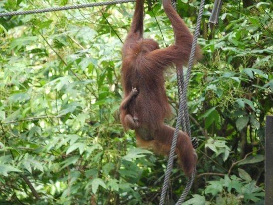 Orang Utan Sanctuary : Mum and baby