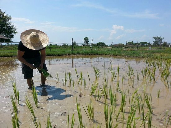 All in 1 Guesthouse : Plantation de riz