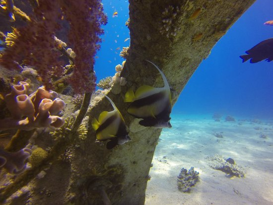 Manta Isrotel Diving Centre: Angel Fish under artificial Coral structure