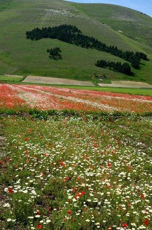 Castelluccio di Norcia, Ιταλία: Fioritura di papaveri e margherite