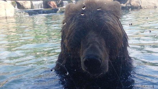 Columbus Zoo: close up of brown bear