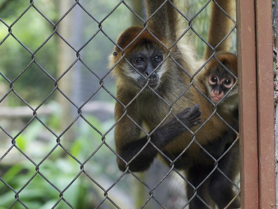 The Springs Resort and Spa: Monkeys