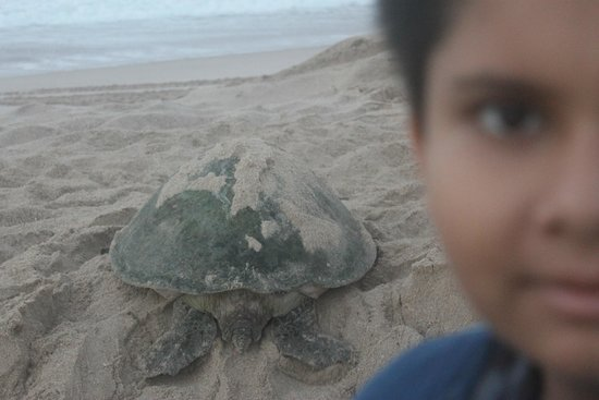 Ras al-Jinz Turtle Reserve : Early morning chat with Turtles at the Beach