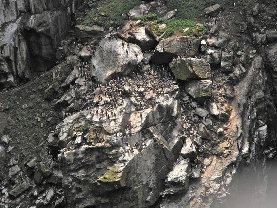 South Stack Lighthouse: Nesting guillemots on the cliff face