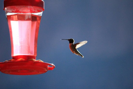 Cliffrose Lodge & Gardens: hummingbrid