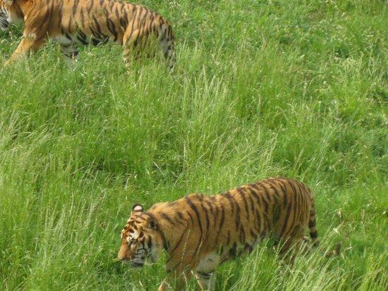 Cabarceno Nature Park: Tigres
