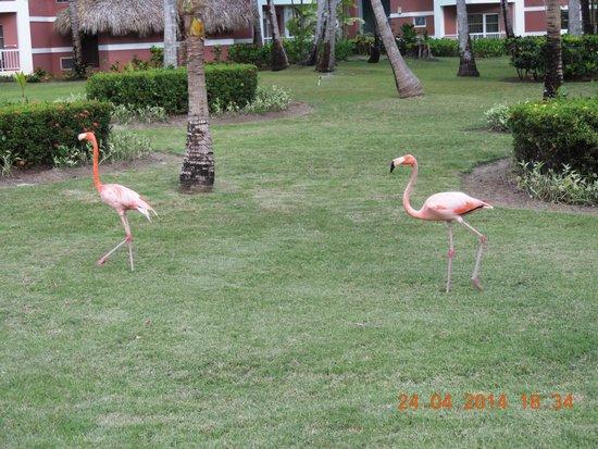 Grand Palladium Bavaro Suites Resort & Spa: Flamingos soltos no jardim