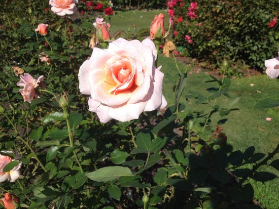Botanischer Garten Christchurch: The Rose Garden