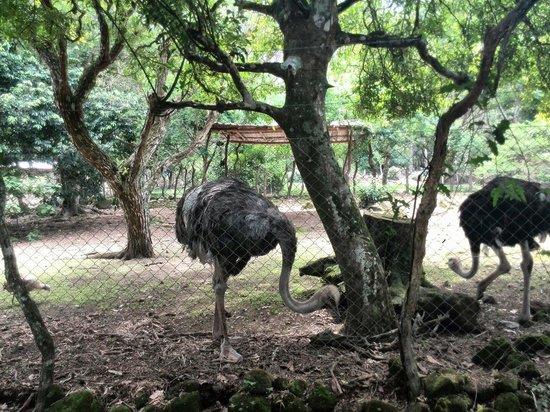 El Nispero Zoo and Botanical Garden : Avestruces