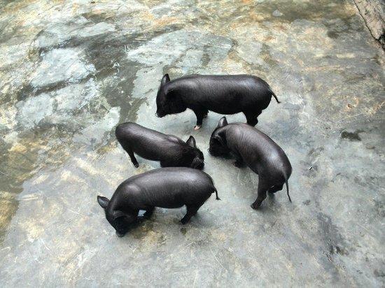 El Nispero Zoo and Botanical Garden : Cerdos vietnamitas enanos