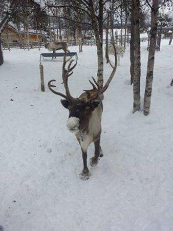 Sámi Siida - Márkanbáiki: feeding reindeer