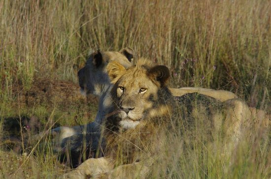 Makweti Safari Lodge : Southern Pride  - Lazy Days
