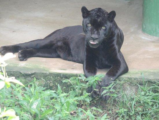 CIGS Zoo: Pantera do CIGS