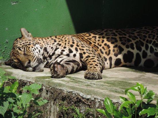 CIGS Zoo: Onça