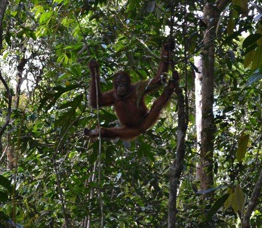 Semenggoh Nature Reserve: Orangutan at Samenggogh 2