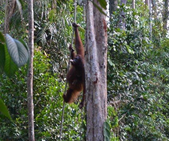Semenggoh Nature Reserve: Orangutan at Samenggogh 3