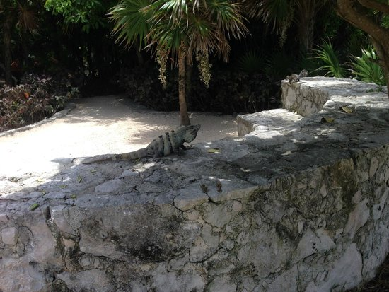 Hard Rock Hotel Riviera Maya: Iguanas were out throughout the day