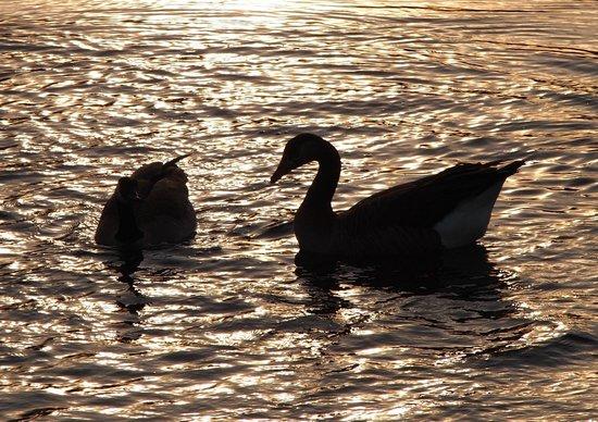 Tualatin River National Wildlife Refuge: Geese at dusk