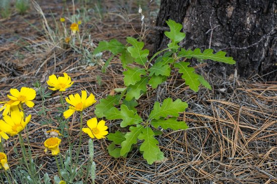 Outspire Hiking and Snowshoeing : young oak sprouting-regrowth at burnt mea