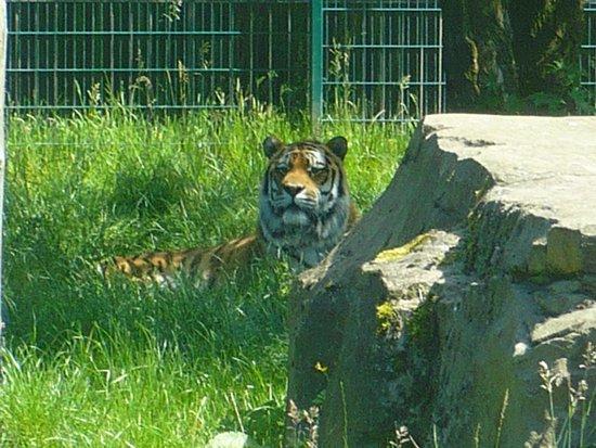 Blackpool Zoo: Tigers