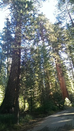 Mariposa Grove of Giant Sequoias: Sequoias