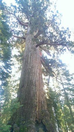 Mariposa Grove of Giant Sequoias : Sequoias