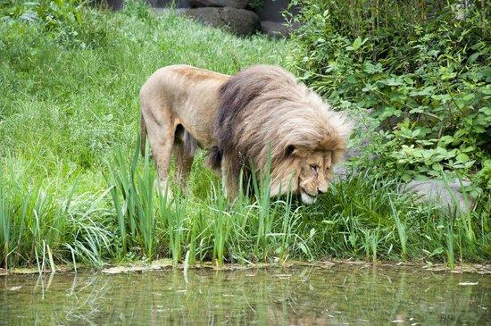 Leipzig Zoo (Zoologischer Garten Leipzig): Löwengehege