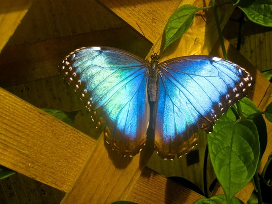 The Original Mackinac Island Butterfly House & Insect World: The beautiful Blue Morpho..