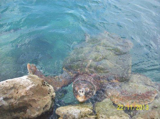 Dolphin Academy Curacao: Nice turtle