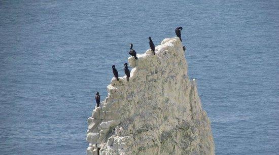 Old Harry Rocks: Cormorants on one of the rocks