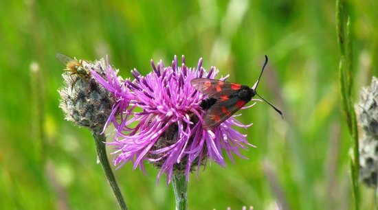Old Harry Rocks: Burnet Moths are always attracted to the thistles in June.