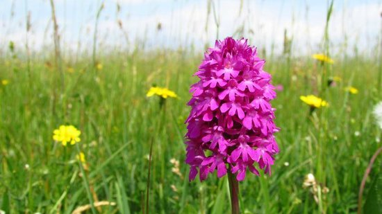 Old Harry Rocks : Pyramid Orchid in bloom, always lovely to see in late June.