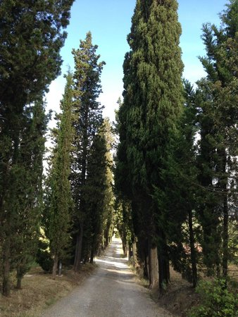 Villa Saulina : trees that lined the drive up to the main building