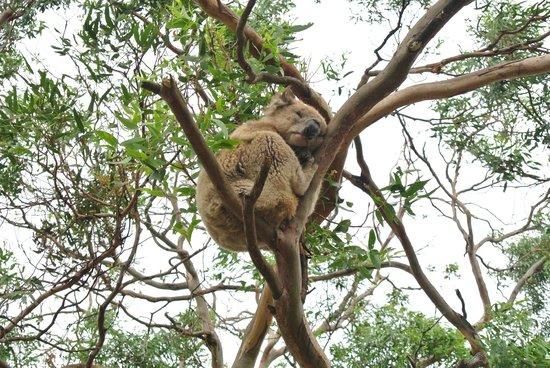 Phillip Island Nature Parks - Koala Conservation Centre : The sleeping beauty