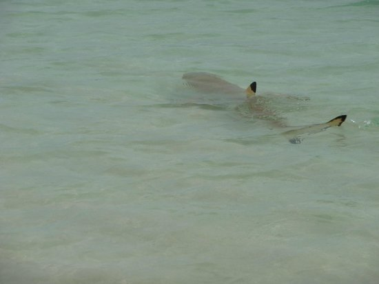 Kuramathi Island Resort : Black tip down at Infinity Pool beach