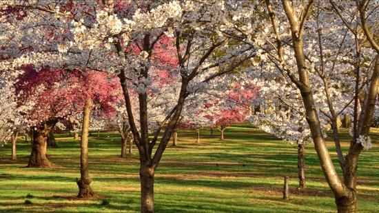 Newark, NJ: Branch Brook Park in bloom