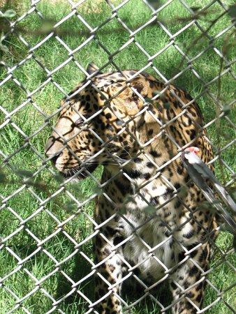 Southwest Wildlife Conservation Center: Leopard/Jaguar Mix
