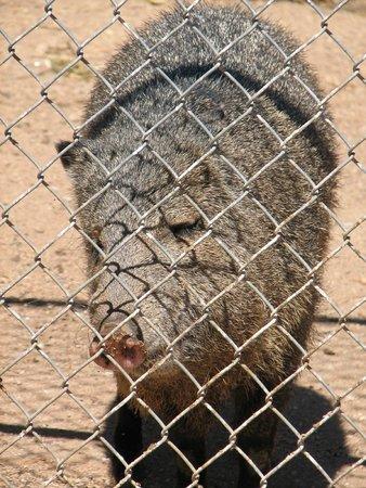 Southwest Wildlife Conservation Center: Javelina