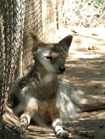 Southwest Wildlife Conservation Center: Coyote