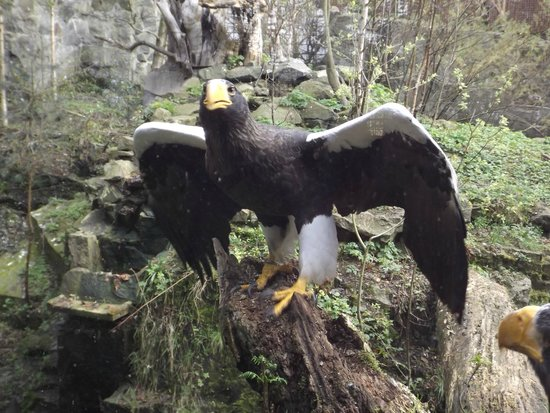 Edinburgh Zoo: Fine eagle showing off for the camera before taking off up to a tree