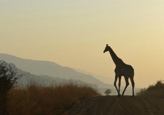Shepherd's Tree Game Lodge: Giraffe at dawn