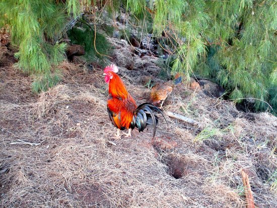 Spouting Horn : Roosters do Abound