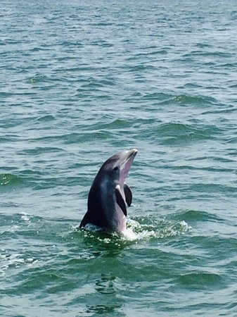 Tarpon Springs, FL: Baby dolphin Spy Hopping.