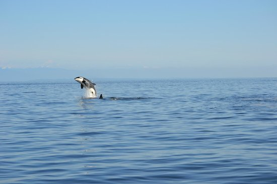 Wild Whales Vancouver: young Orca celebrating a feed