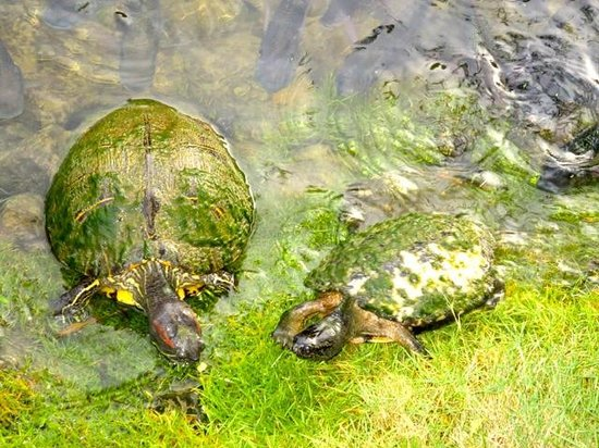 Couples Negril: Turtles in the Pond