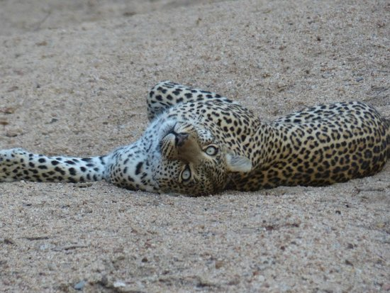 Elephant Plains Game Lodge: leopard